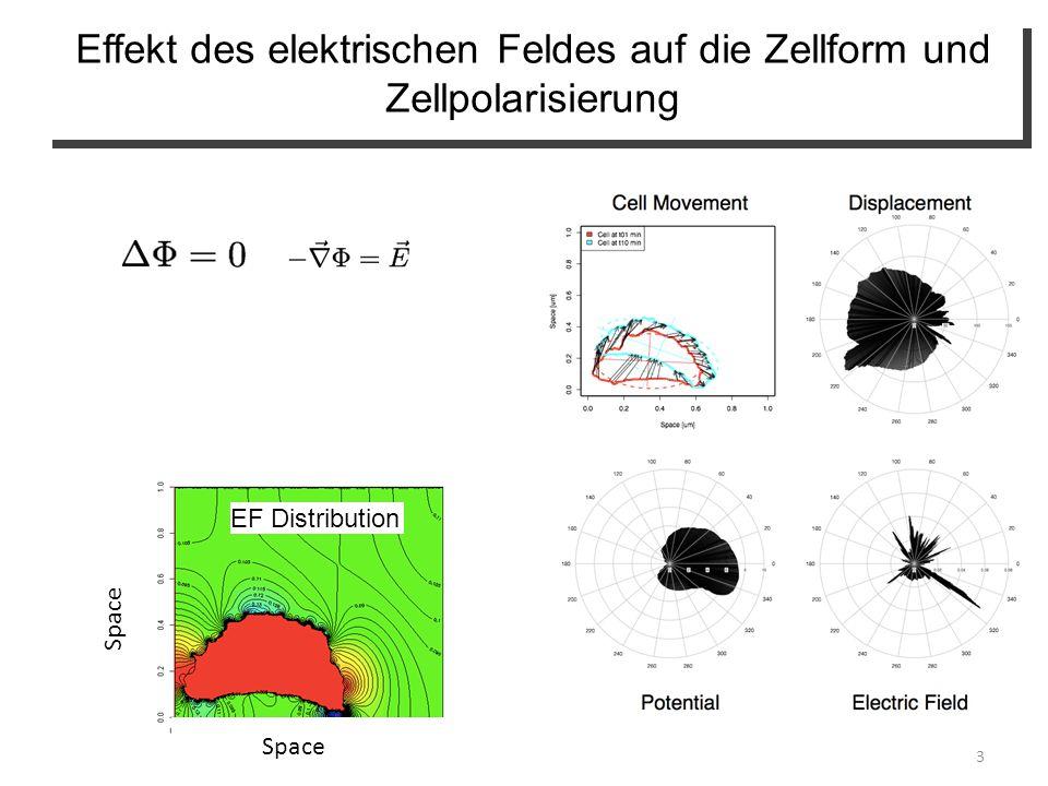 Effekt des elektrischen Feldes auf die Zellform und Zellpolarisierung