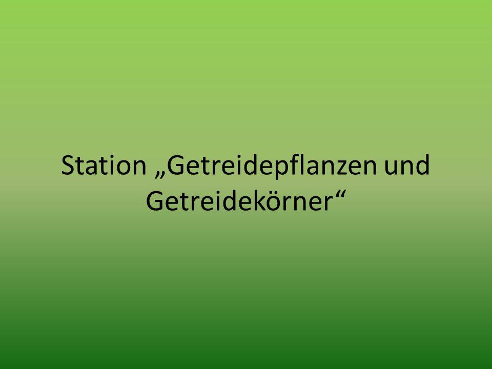 """Station """"Getreidepflanzen und Getreidekörner"""