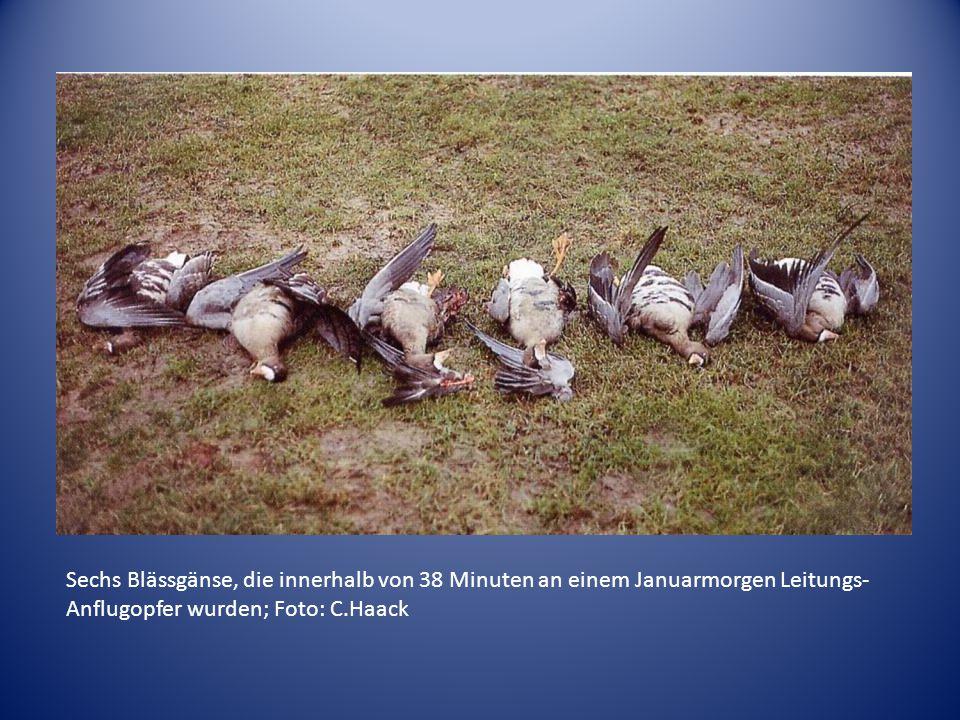 Sechs Blässgänse, die innerhalb von 38 Minuten an einem Januarmorgen Leitungs-Anflugopfer wurden; Foto: C.Haack