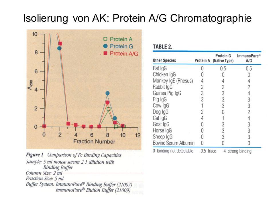 Isolierung von AK: Protein A/G Chromatographie