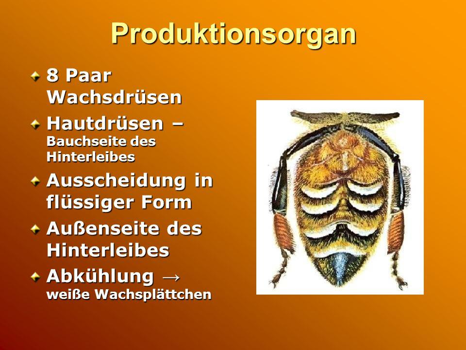 Produktionsorgan 8 Paar Wachsdrüsen