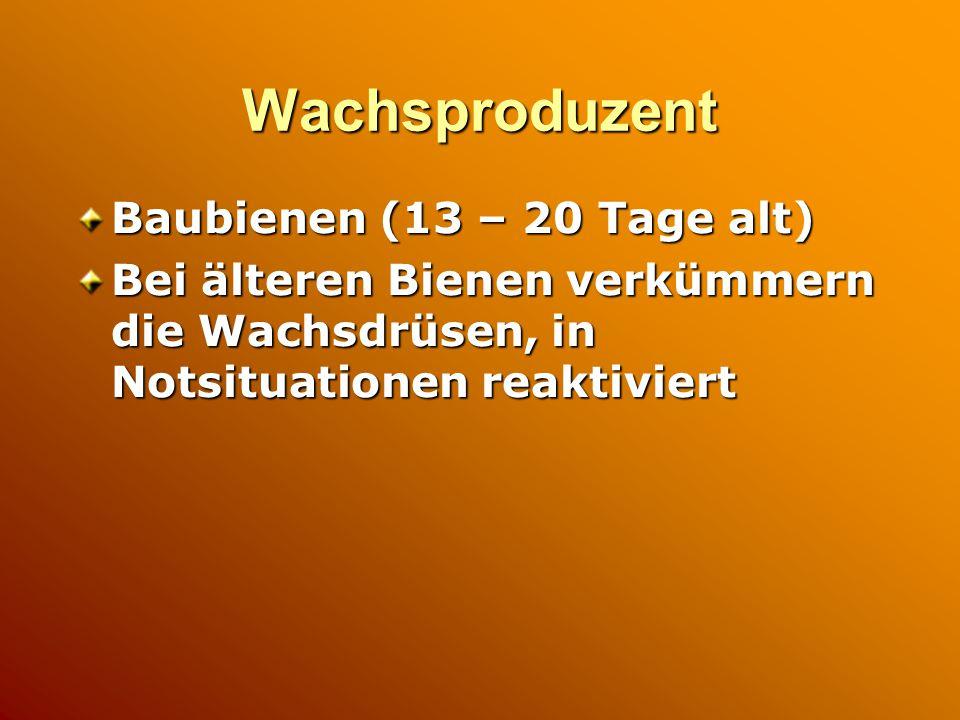 Wachsproduzent Baubienen (13 – 20 Tage alt)