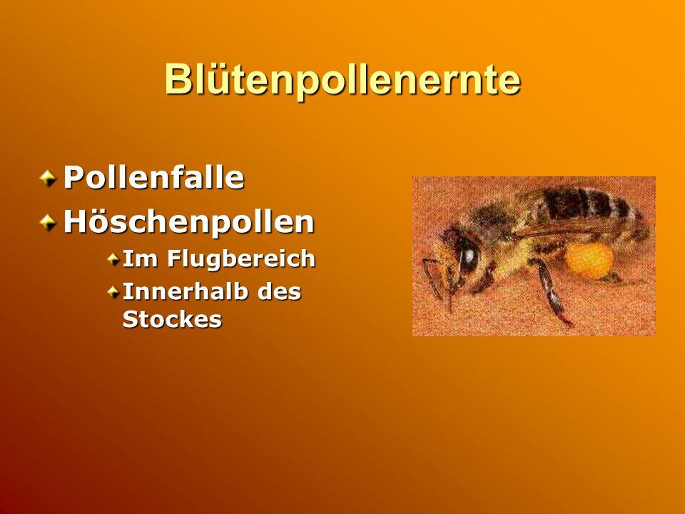 Blütenpollenernte Pollenfalle Höschenpollen Im Flugbereich