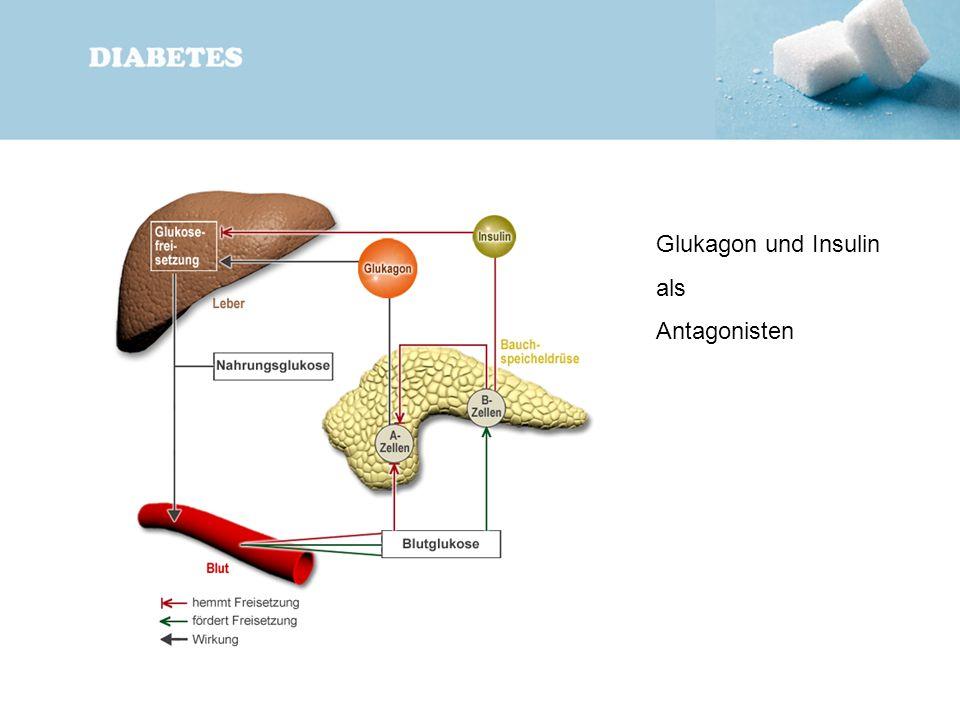 Glukagon und Insulin als Antagonisten