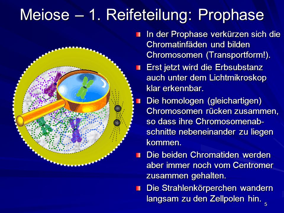 Meiose – 1. Reifeteilung: Prophase