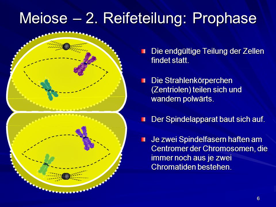 Meiose – 2. Reifeteilung: Prophase