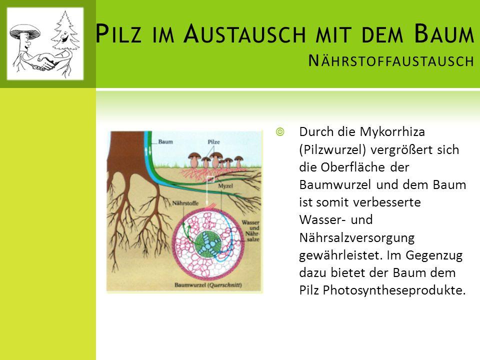 Pilz im Austausch mit dem Baum Nährstoffaustausch