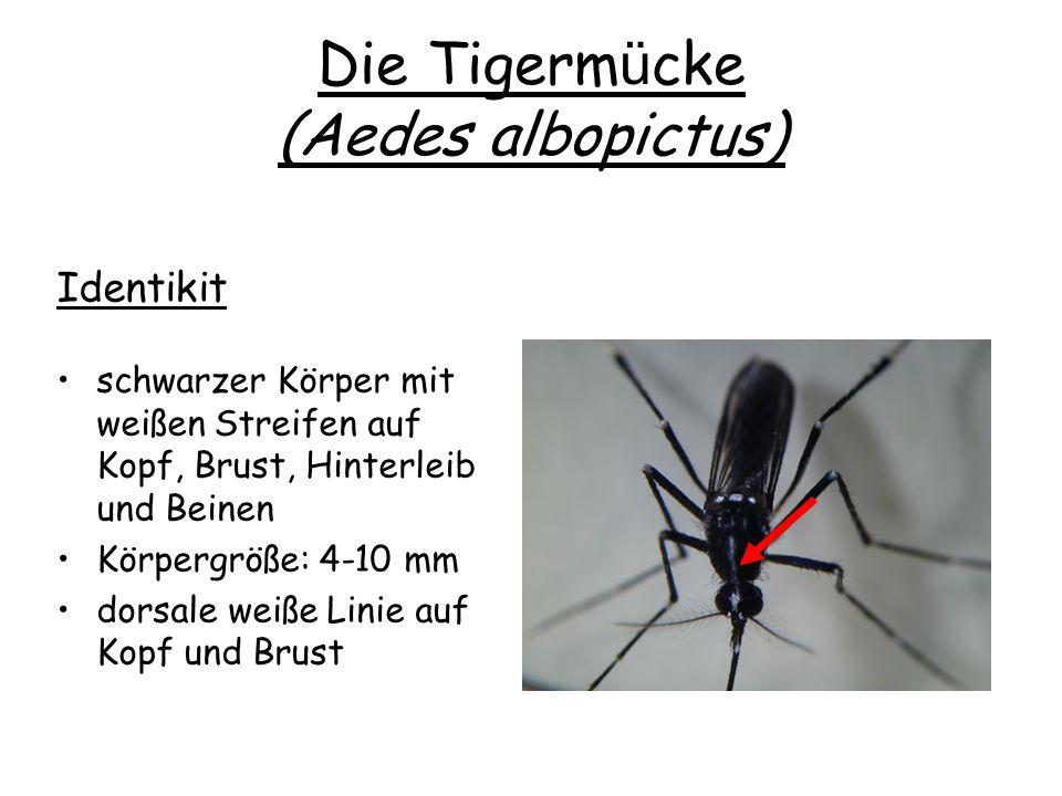 Die Tigermücke (Aedes albopictus)
