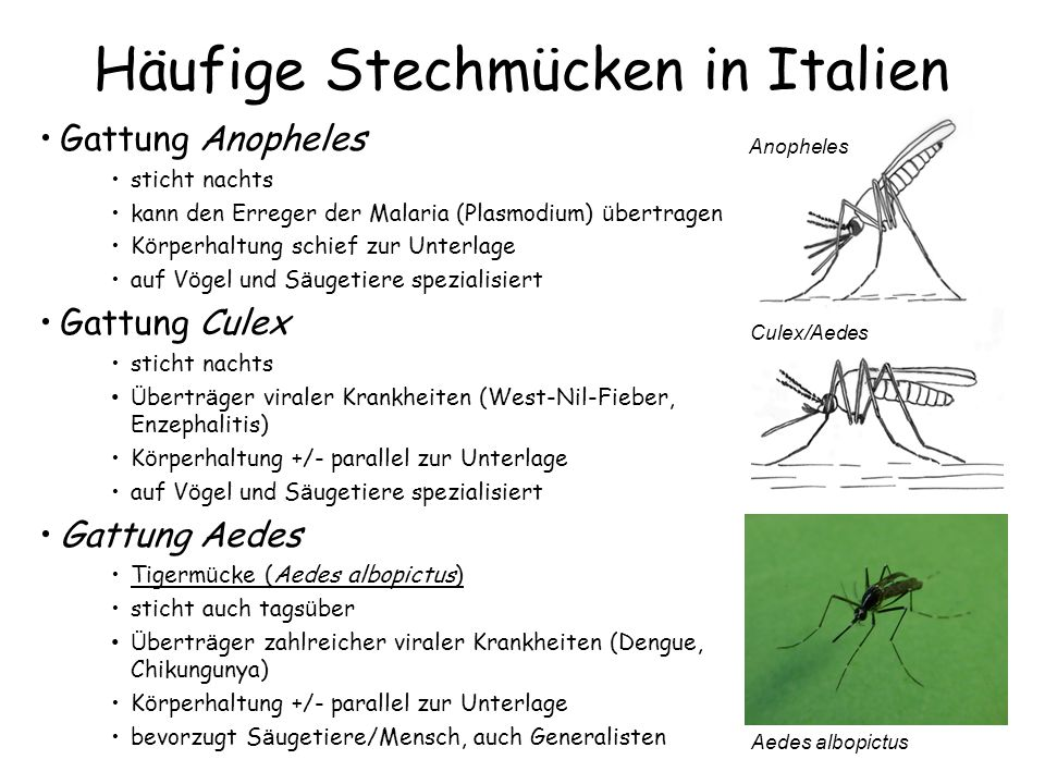Häufige Stechmücken in Italien