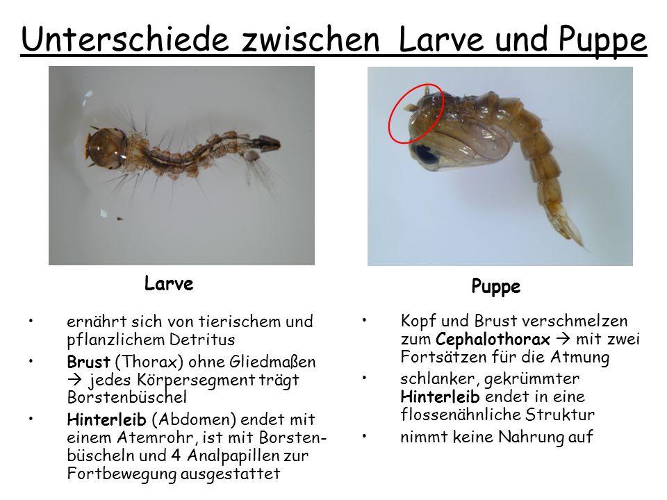 Unterschiede zwischen Larve und Puppe