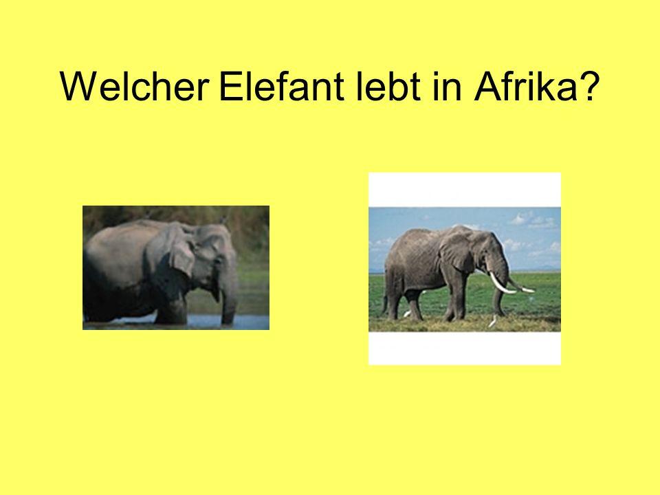 Welcher Elefant lebt in Afrika