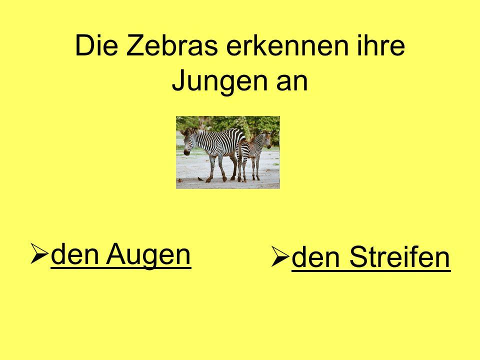 Die Zebras erkennen ihre Jungen an