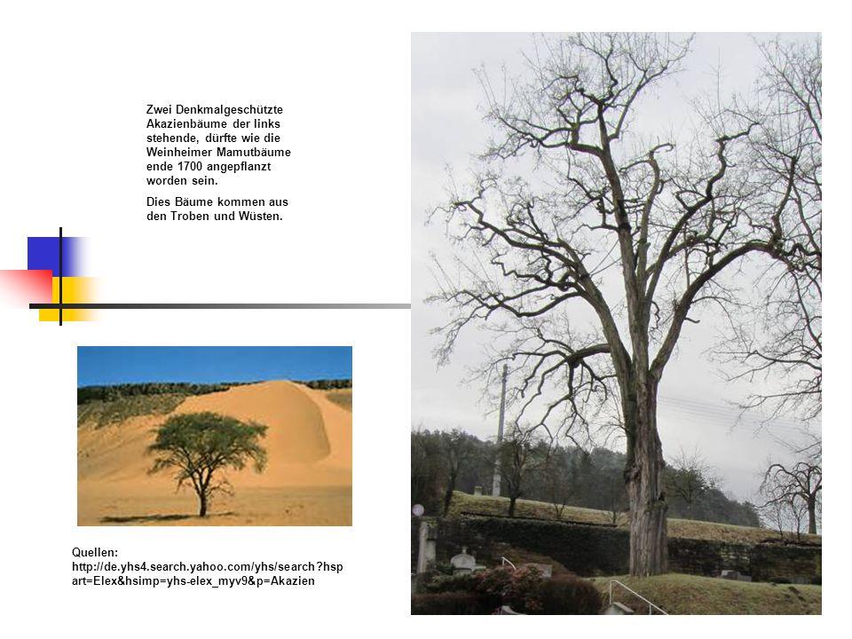 Zwei Denkmalgeschützte Akazienbäume der links stehende, dürfte wie die Weinheimer Mamutbäume ende 1700 angepflanzt worden sein.