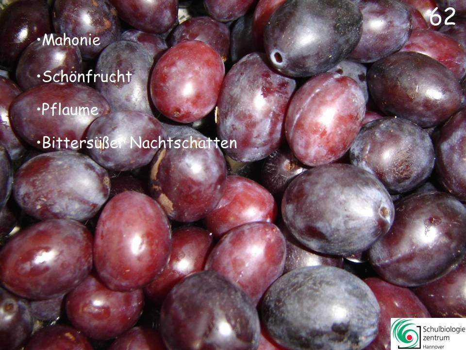 63 Liguster Eberesche (Vogelbeere) Ilex Berberitze (Sauerdorn)