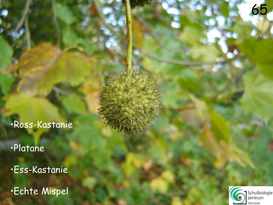 66 Schönfrucht Mais Zaunrübe Kalebassen-Kürbis