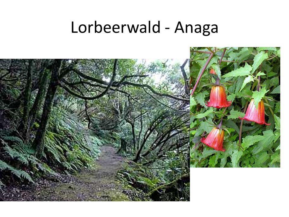 Lorbeerwald - Anaga