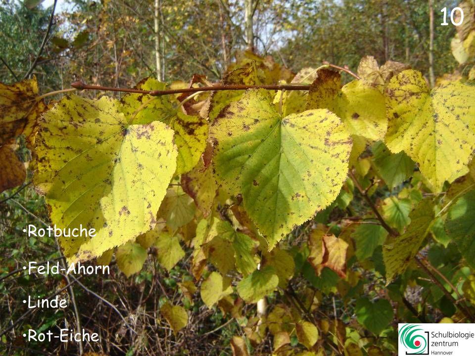 10 Rotbuche Feld-Ahorn Linde Rot-Eiche