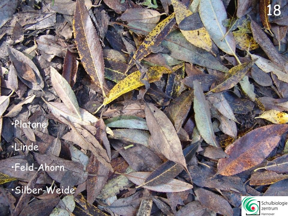 18 Platane Linde Feld-Ahorn Silber-Weide