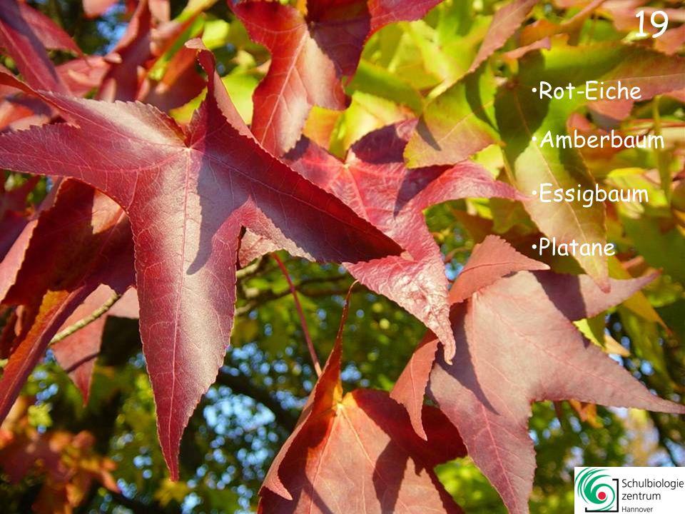 19 Rot-Eiche Amberbaum Essigbaum Platane