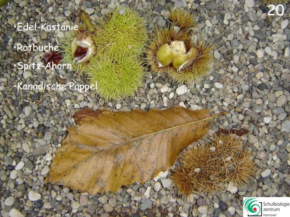 20 Edel-Kastanie Rotbuche Spitz-Ahorn Kanadische Pappel