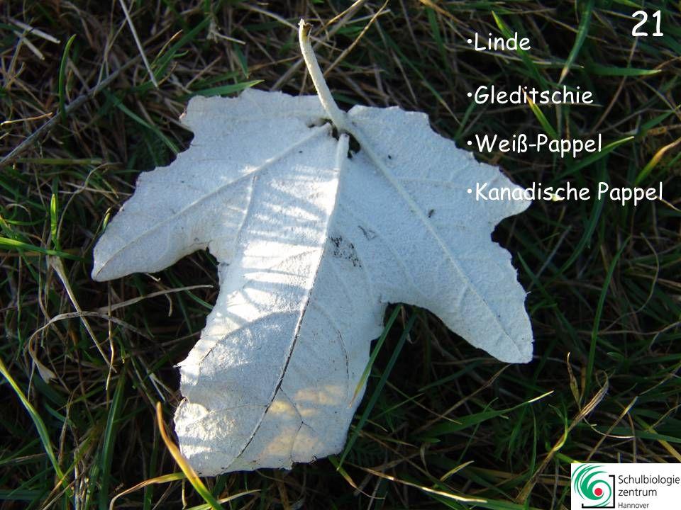 21 Linde Gleditschie Weiß-Pappel Kanadische Pappel