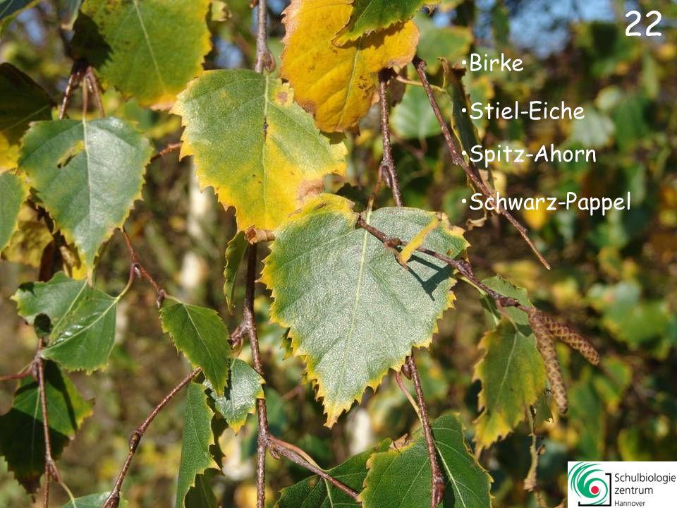 22 Birke Stiel-Eiche Spitz-Ahorn Schwarz-Pappel