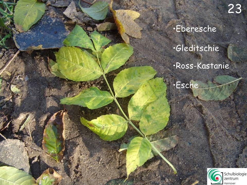 23 Eberesche Gleditschie Ross-Kastanie Esche