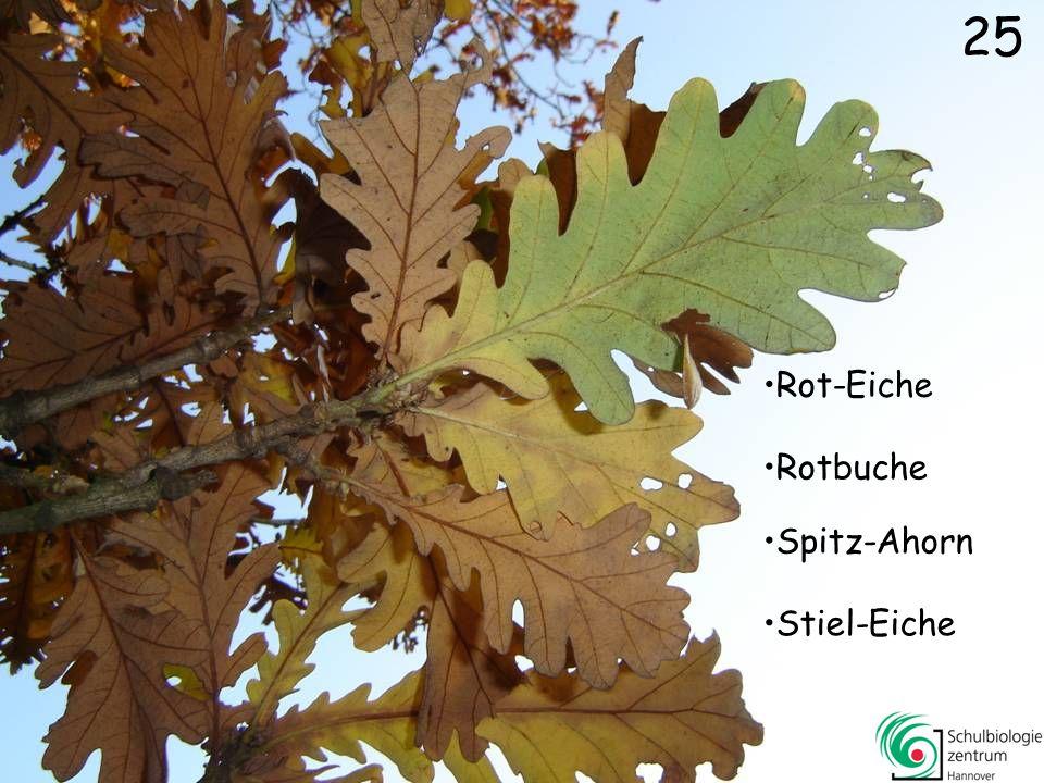 25 Rot-Eiche Rotbuche Spitz-Ahorn Stiel-Eiche