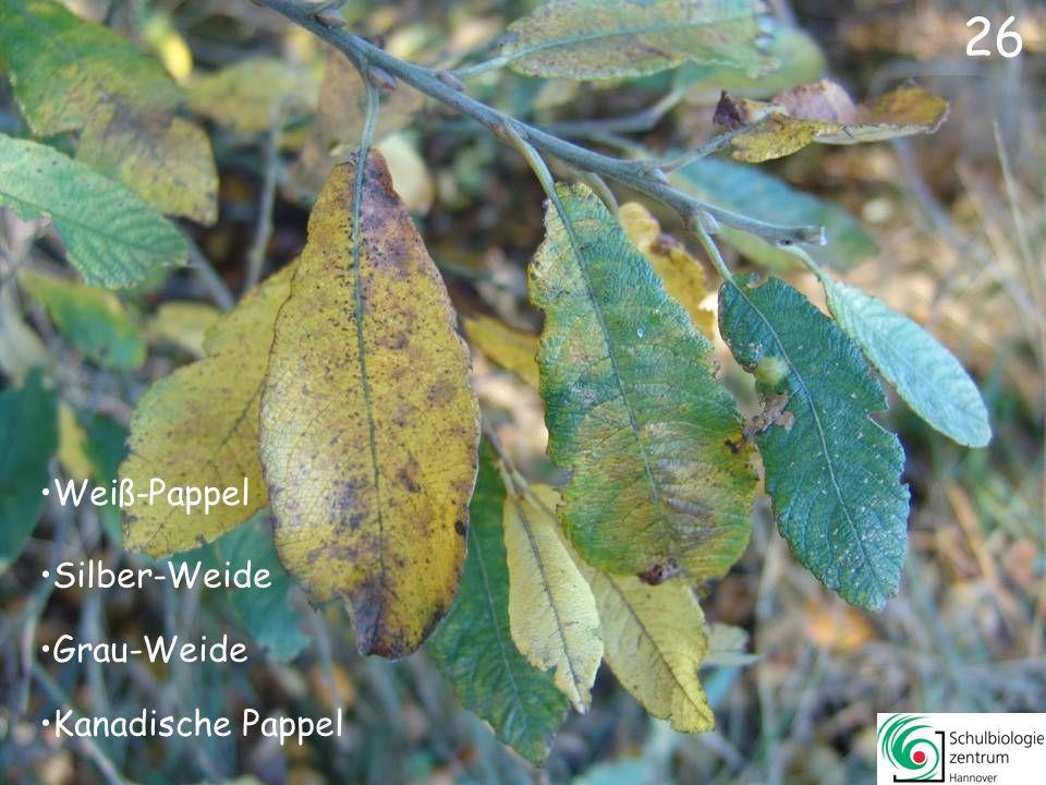26 Weiß-Pappel Silber-Weide Grau-Weide Kanadische Pappel