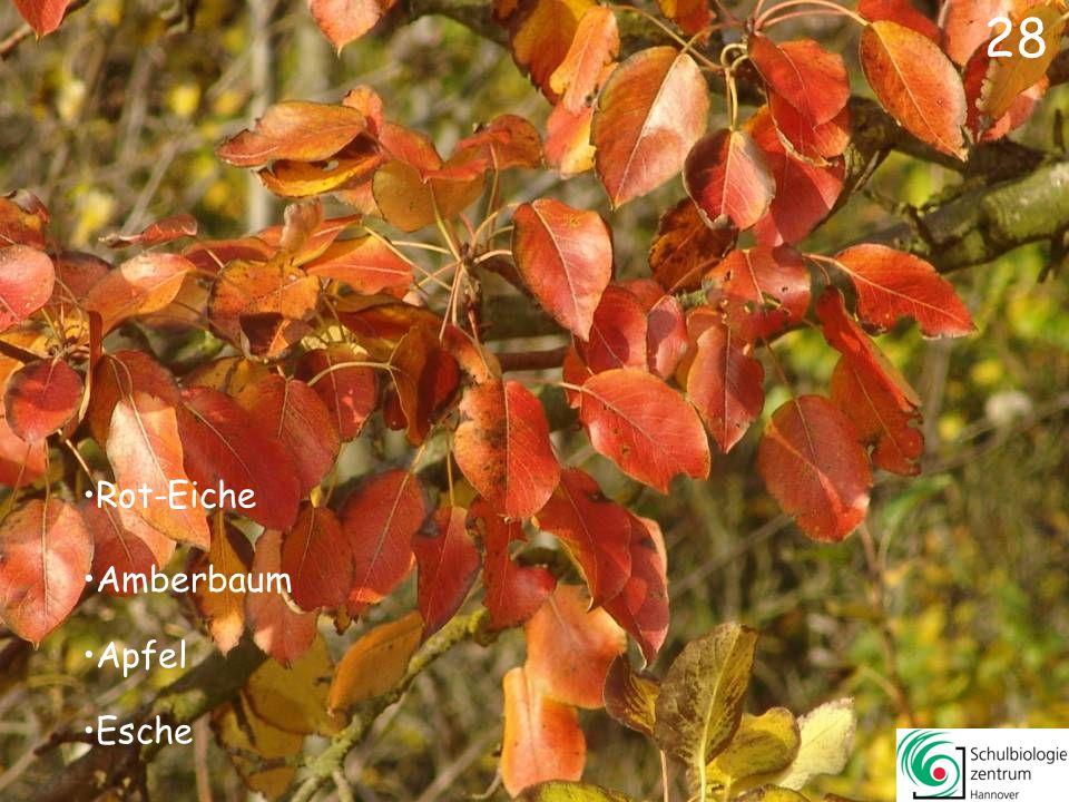 28 Rot-Eiche Amberbaum Apfel Esche