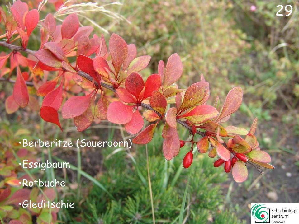 29 Berberitze (Sauerdorn) Essigbaum Rotbuche Gleditschie