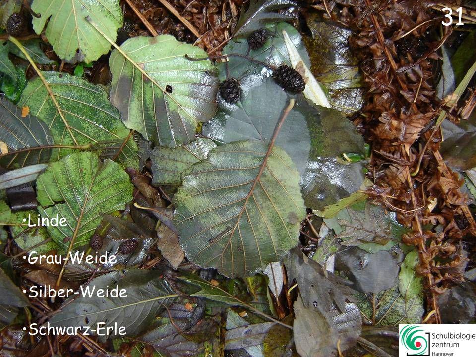 31 Linde Grau-Weide Silber-Weide Schwarz-Erle