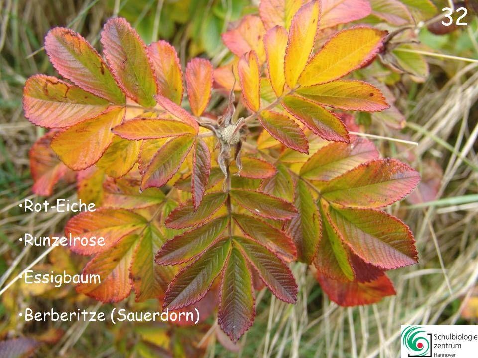 32 Rot-Eiche Runzelrose Essigbaum Berberitze (Sauerdorn)