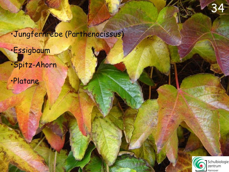 34 Jungfernrebe (Parthenocissus) Essigbaum Spitz-Ahorn Platane