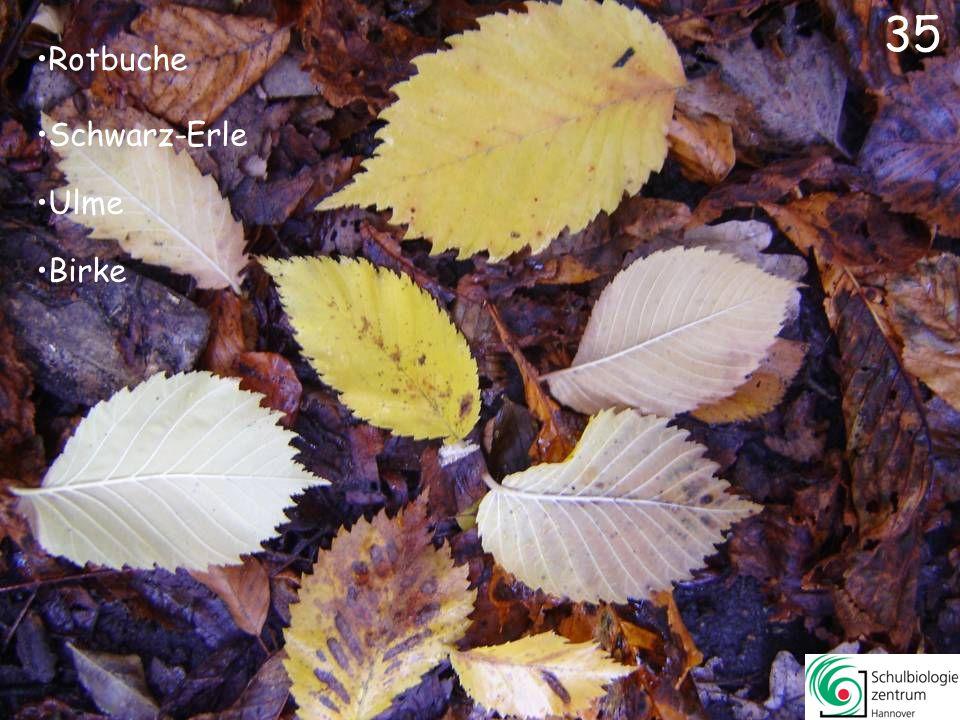 35 Rotbuche Schwarz-Erle Ulme Birke