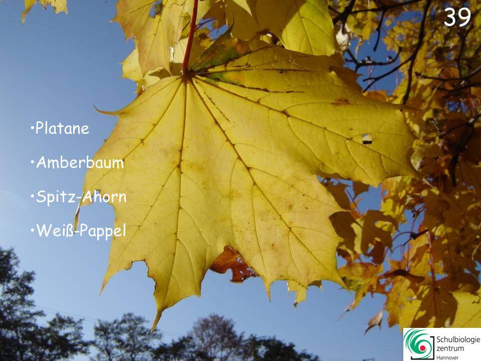 39 Platane Amberbaum Spitz-Ahorn Weiß-Pappel