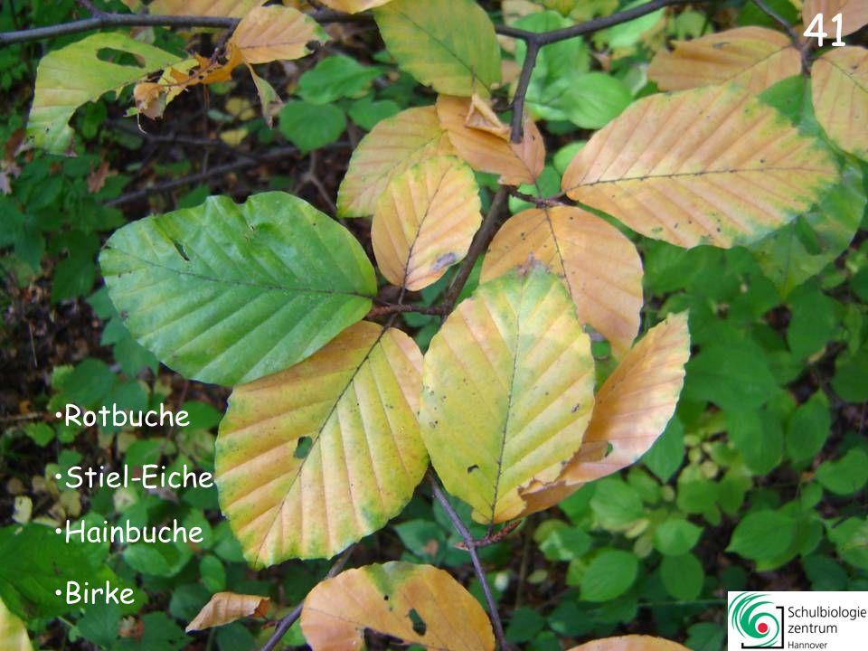 41 Rotbuche Stiel-Eiche Hainbuche Birke