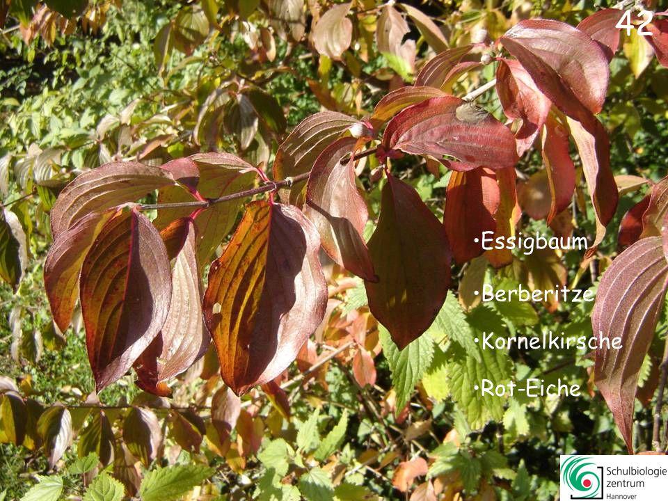 42 Essigbaum Berberitze Kornelkirsche Rot-Eiche