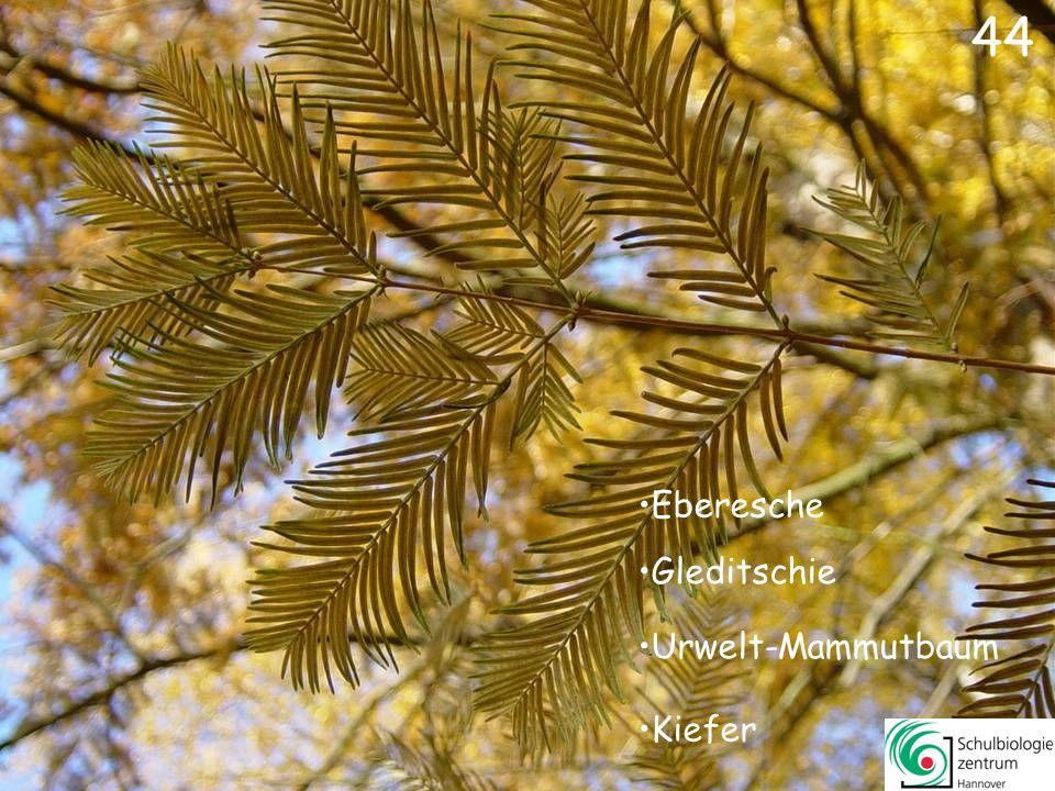 44 Eberesche Gleditschie Urwelt-Mammutbaum Kiefer