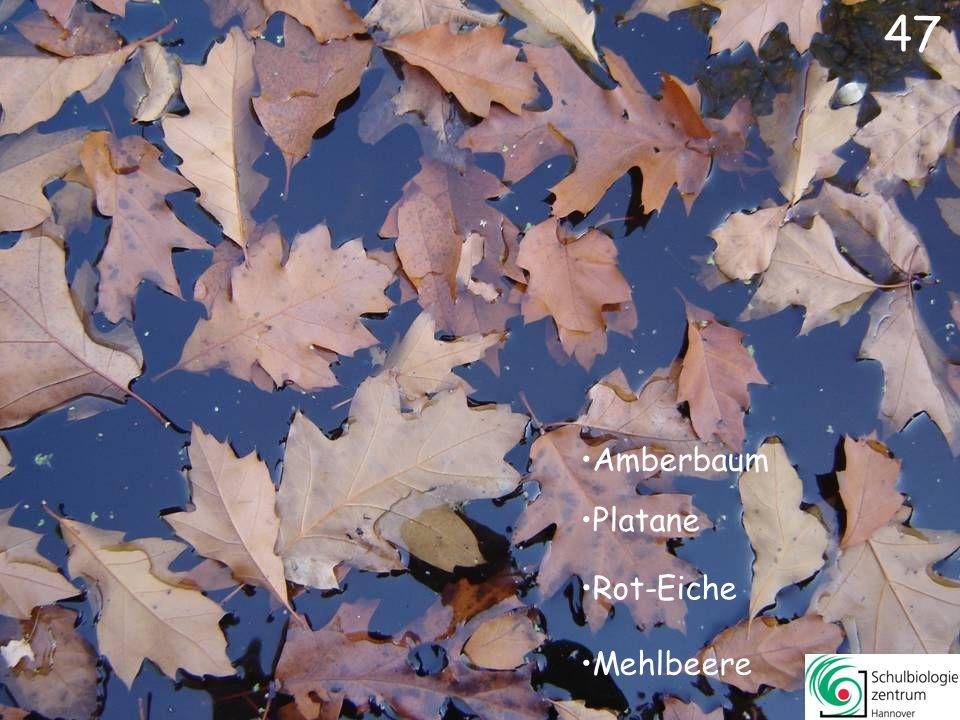 47 Amberbaum Platane Rot-Eiche Mehlbeere