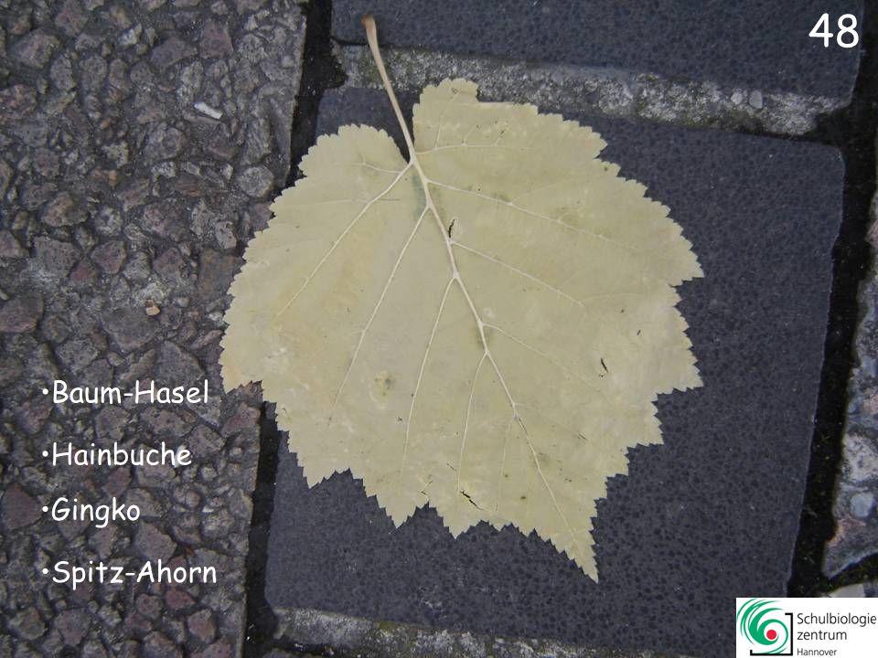48 Baum-Hasel Hainbuche Gingko Spitz-Ahorn