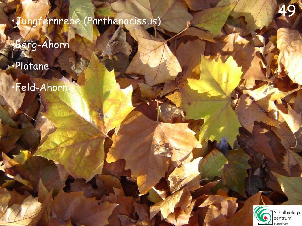 49 Jungfernrebe (Parthenocissus) Berg-Ahorn Platane Feld-Ahorn