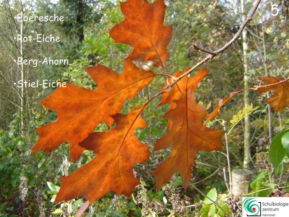 5 Eberesche Rot-Eiche Berg-Ahorn Stiel-Eiche