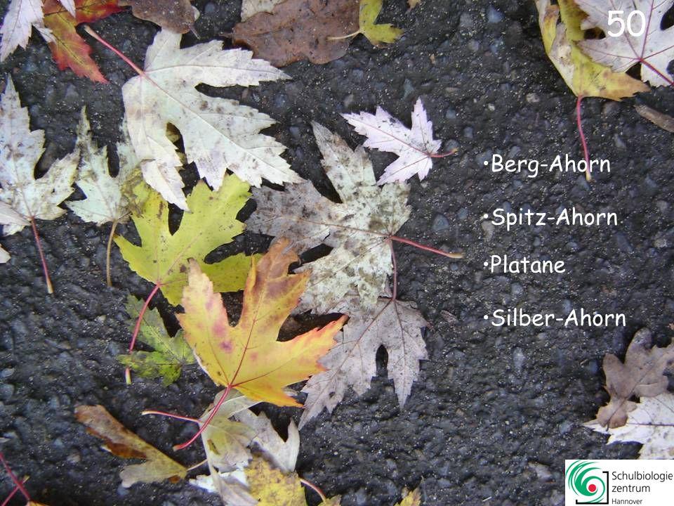 50 Berg-Ahorn Spitz-Ahorn Platane Silber-Ahorn