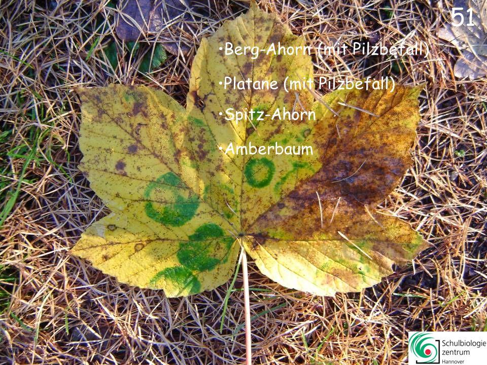 51 Berg-Ahorn (mit Pilzbefall) Platane (mit Pilzbefall) Spitz-Ahorn