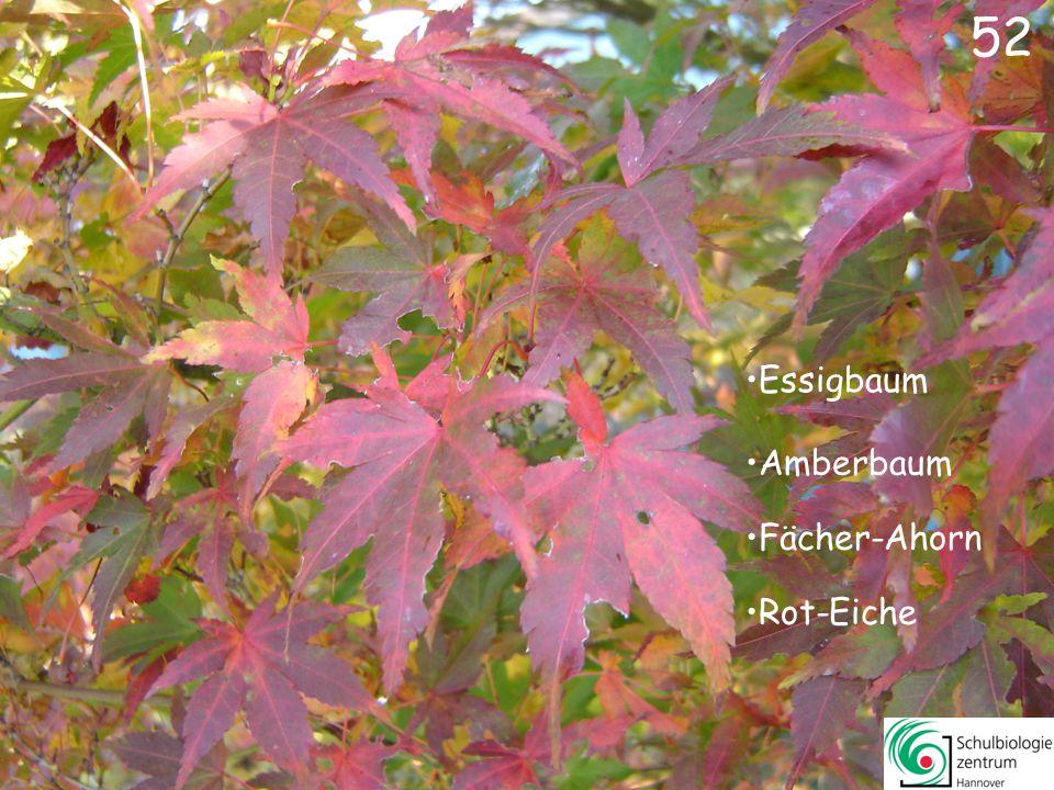 52 Essigbaum Amberbaum Fächer-Ahorn Rot-Eiche