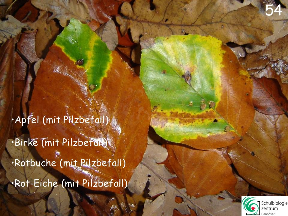 54 Apfel (mit Pilzbefall) Birke (mit Pilzbefall)