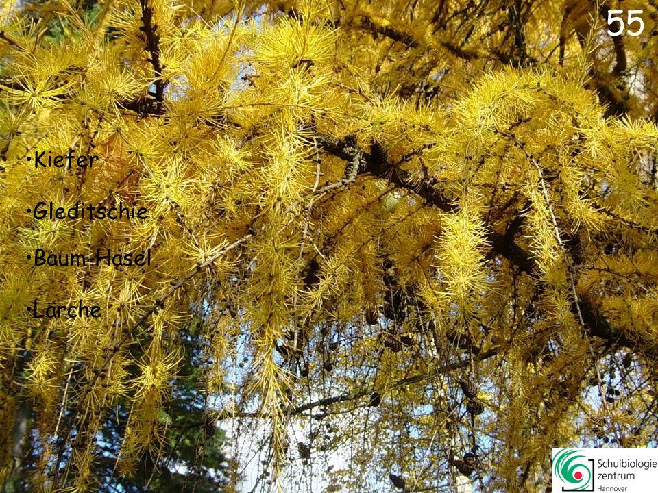 55 Kiefer Gleditschie Baum-Hasel Lärche