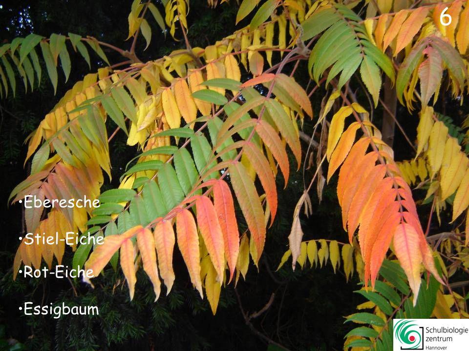 6 Eberesche Stiel-Eiche Rot-Eiche Essigbaum