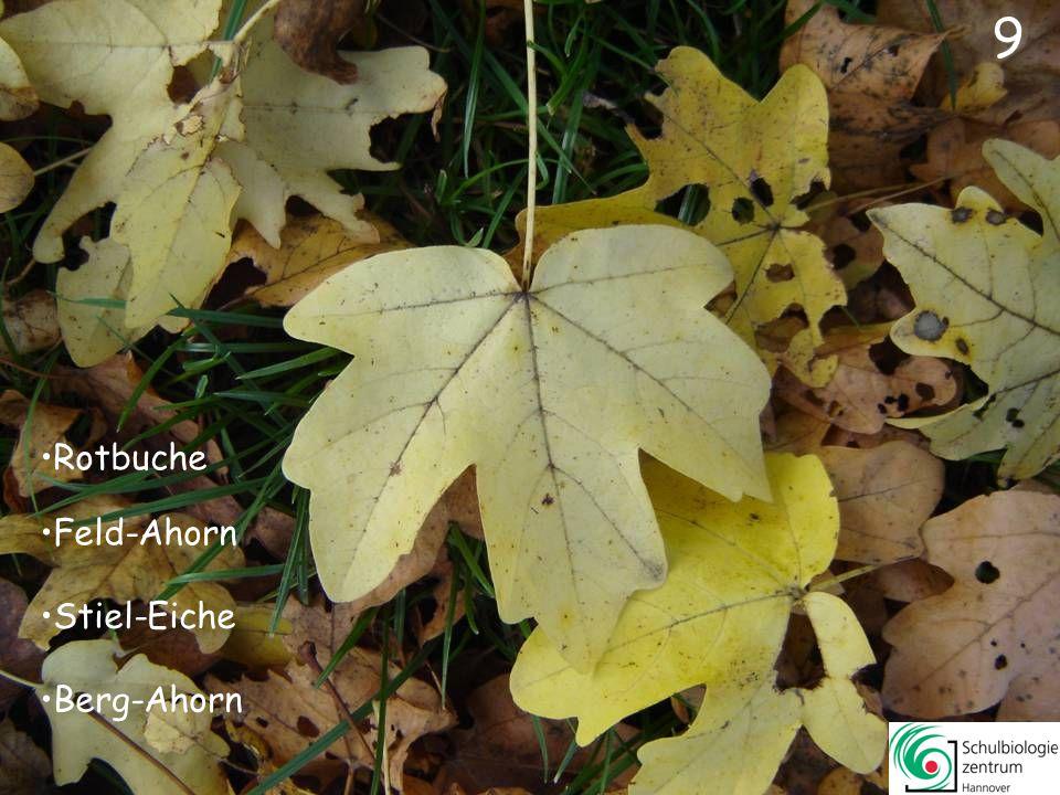9 Rotbuche Feld-Ahorn Stiel-Eiche Berg-Ahorn